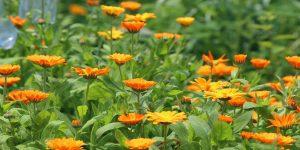 körömvirágok