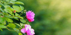 illatos rózsa