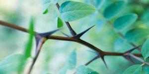 tüskés növények