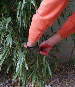 bambusz metszése