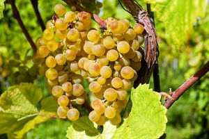 szőlő és bor